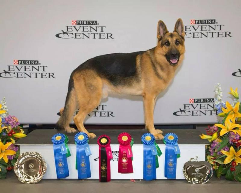 GSD Agility National Specialty